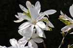 Stjerne-Magnolie (Magnolia stellata)